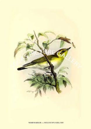 WOOD WARBLER ---- PHYLLOSCOPUS SIBILATRIX